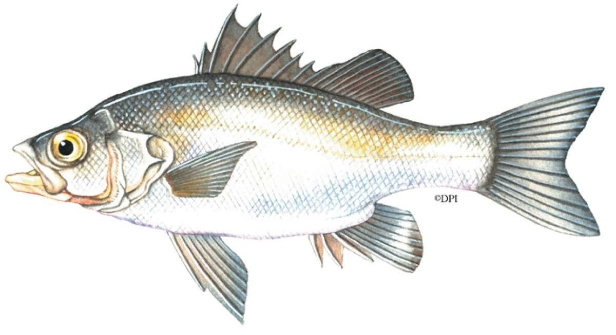 Australian Bass/Estuary Perch