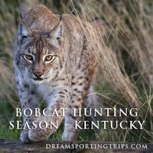 Bobcat Hunting Season - Kentucky