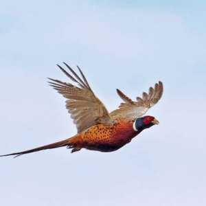 Warning: Pheasant Hunting Can Be Addictive!