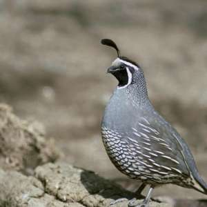 8 Quail Hunting Tips Image