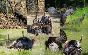Hunting Wild Turkeys - 2016 Spring Hunt Guide Image