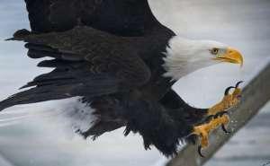 Alaskan woman survives eagle attack