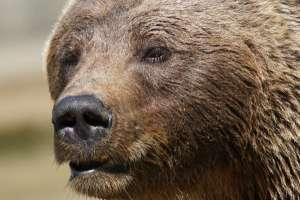 Understanding Bear Behavior Image