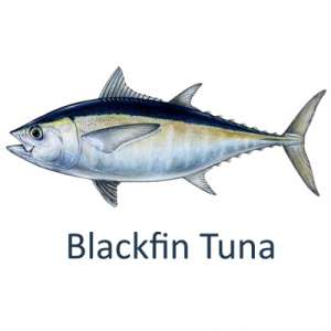 Let's Talk Tuna--Fishing for Blackfin in Islamorada, Florida