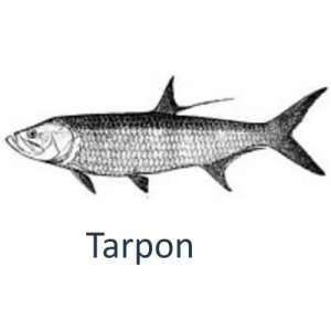 Targeting tarpon with the talented Islamorada fishing guides