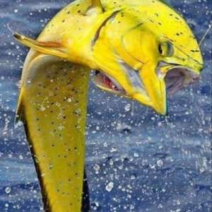 Light up your day - go fishing for Mahi-mahi with an experienced Islamorada guide!